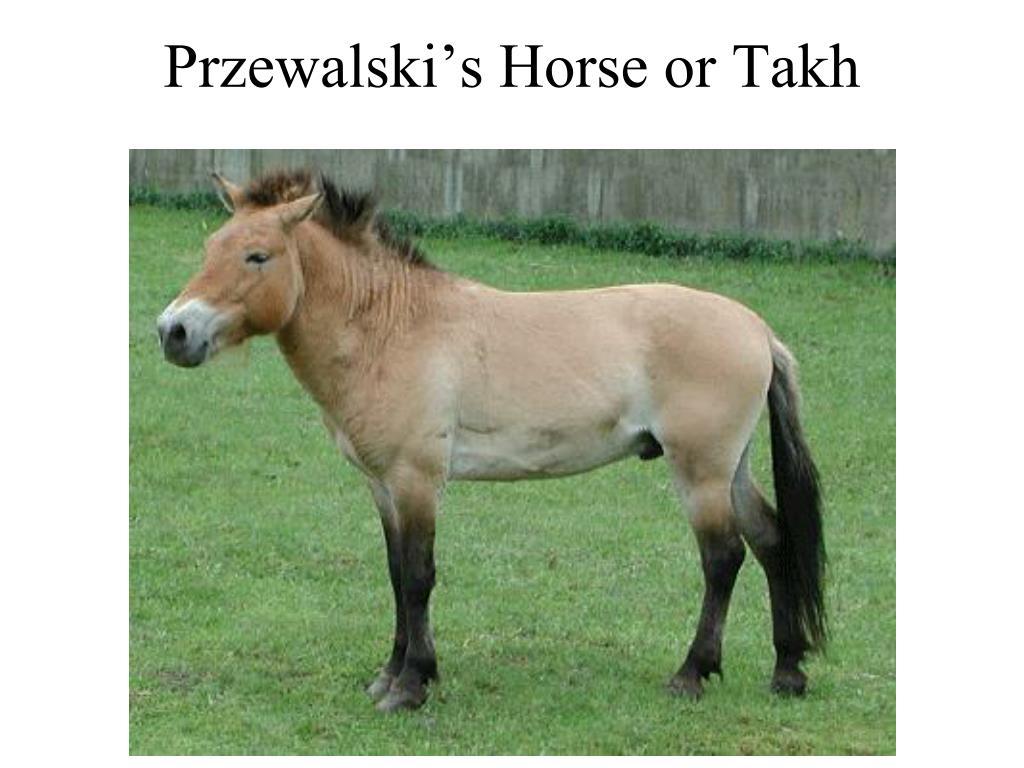 Przewalski's Horse or Takh