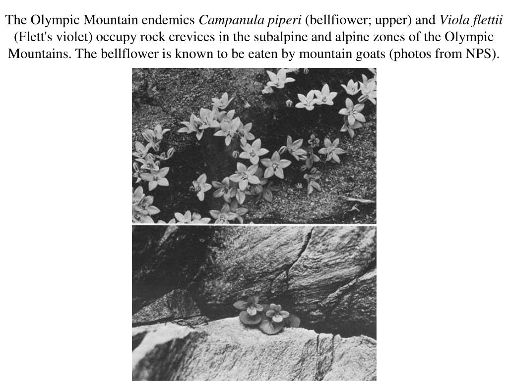 The Olympic Mountain endemics