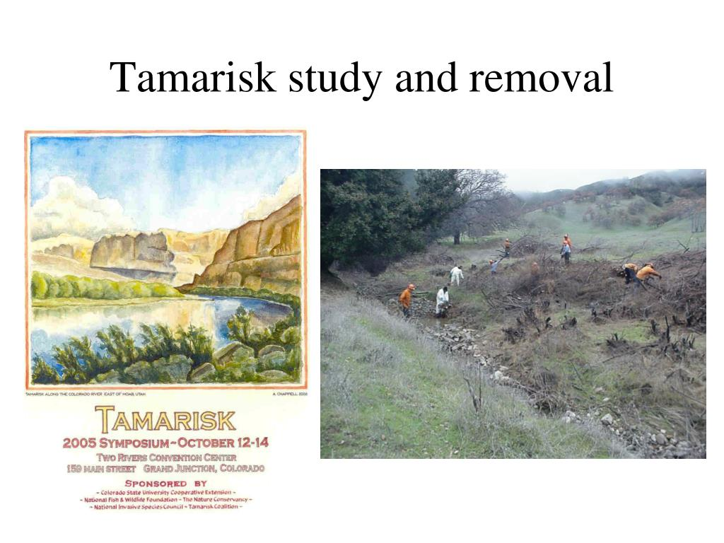 Tamarisk study and removal