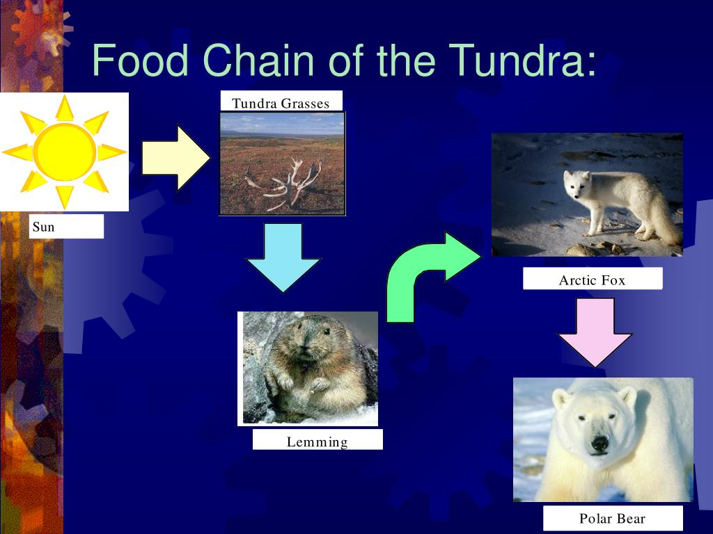 Food Chain of the Tundra: