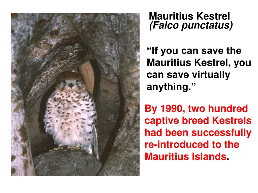 Mauritius Kestrel