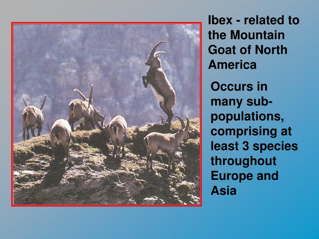 Ibex - related to the Mountain Goat of North America