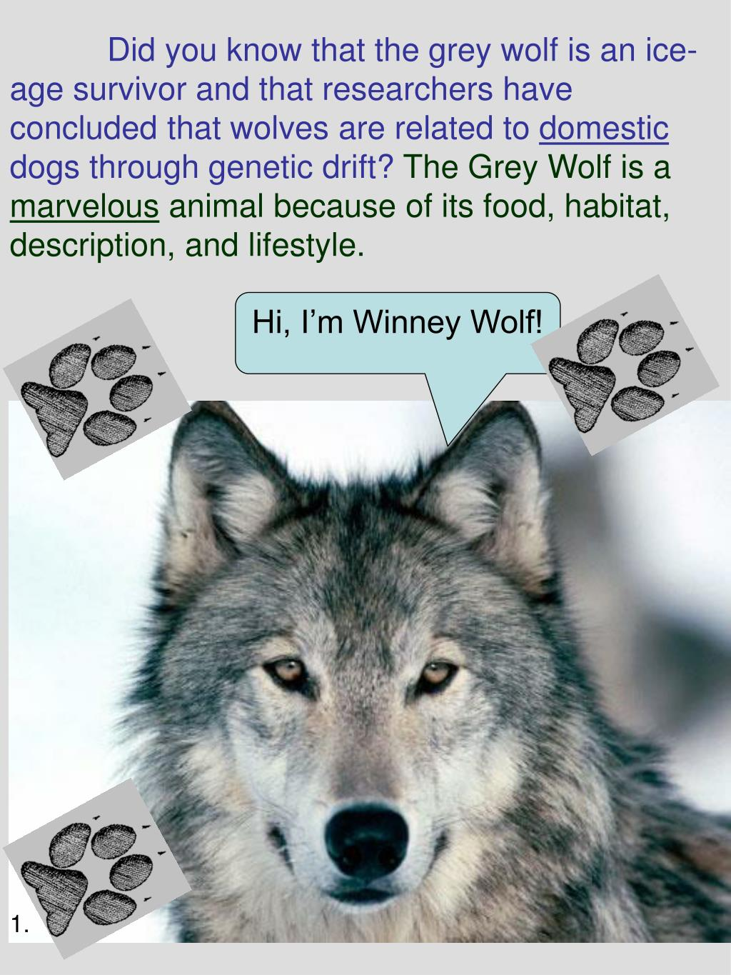 Did you know that the grey wolf is an ice-age survivor and that researchers have concluded that wolves are related to
