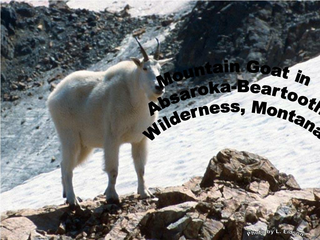 Mountain Goat in