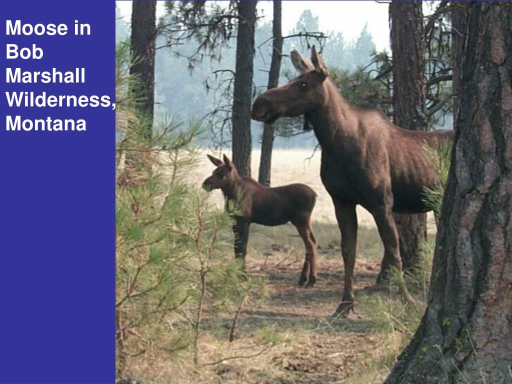 Moose in Bob Marshall Wilderness, Montana