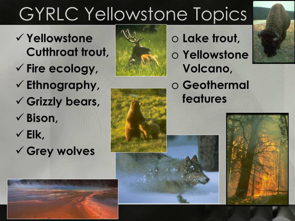 Yellowstone Cutthroat trout,