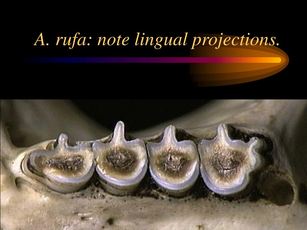 A. rufa: note lingual projections.