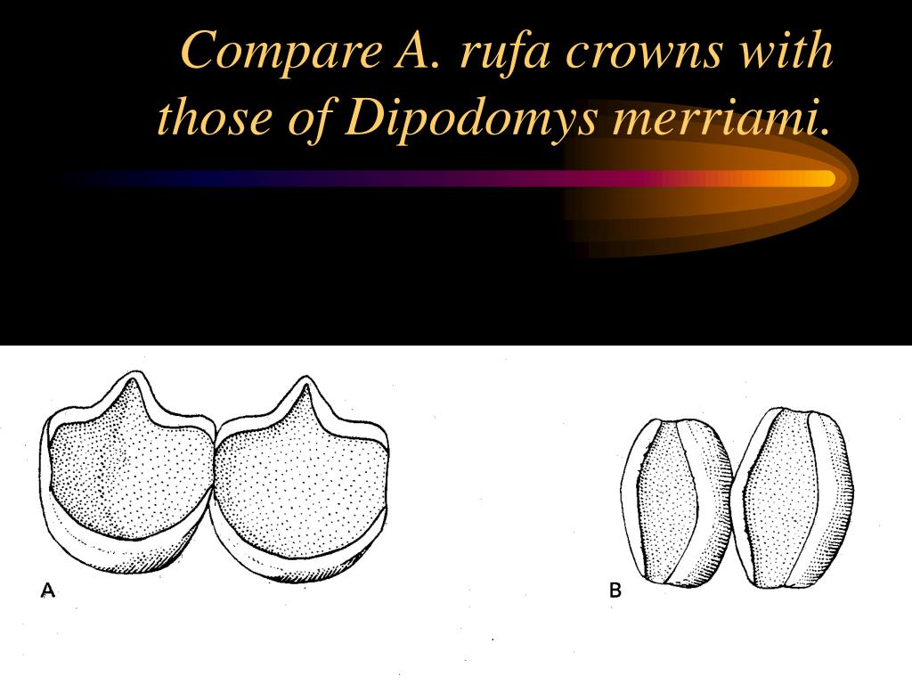Compare A. rufa crowns with those of Dipodomys merriami.