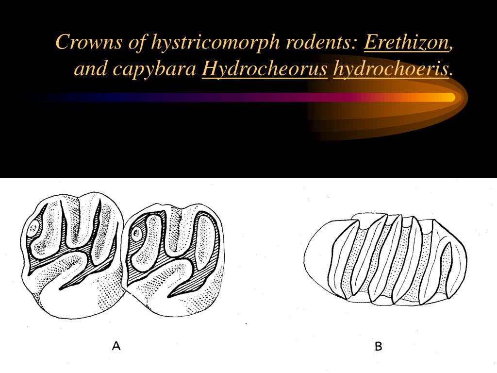 Crowns of hystricomorph rodents: