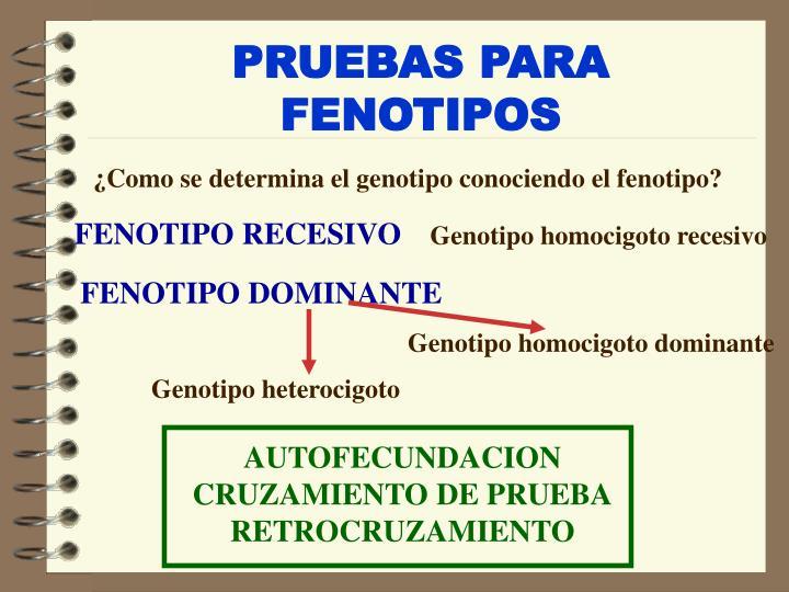 PRUEBAS PARA FENOTIPOS