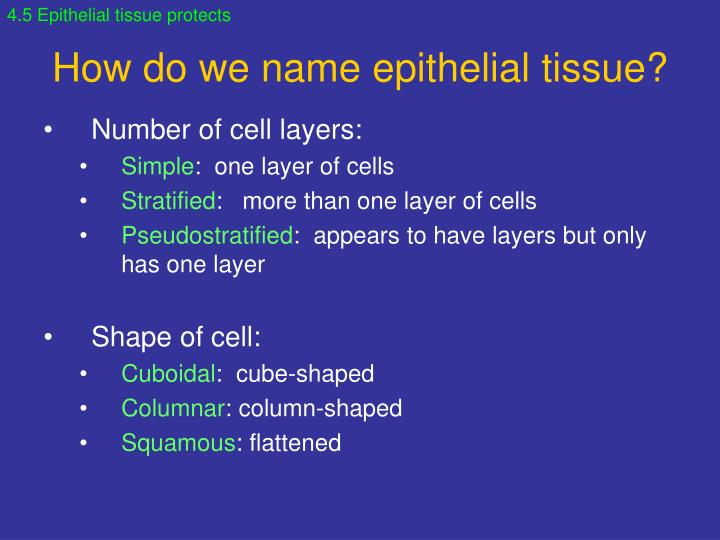 4.5 Epithelial tissue protects