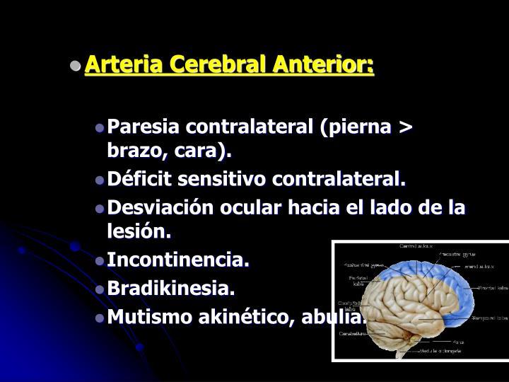 Arteria Cerebral Anterior: