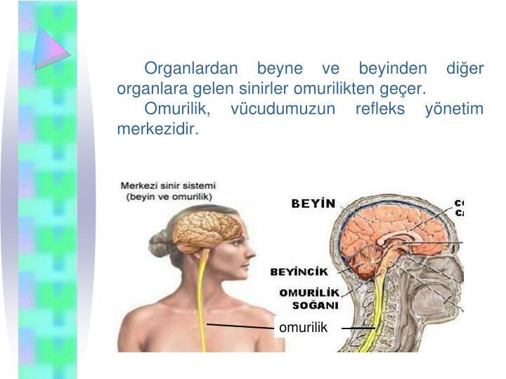 Organlardan beyne ve beyinden dier organlara gelen sinirler omurilikten geer.