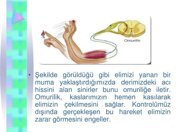 ekilde grld gibi elimizi yanan bir muma yaklatrdmzda derimizdeki ac hissini alan sinirler bunu omurilie iletir. Omurilik, kaslarmzn hemen kaslarak elimizin ekilmesini salar. Kontrolmz dnda gerekleen bu hareket elimizin zarar grmesini engeller.