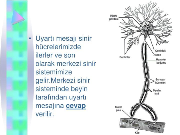 Uyart mesaj sinir hcrelerimizde ilerler ve son olarak merkezi sinir sistemimize gelir.Merkezi sinir sisteminde beyin tarafndan uyart mesajna