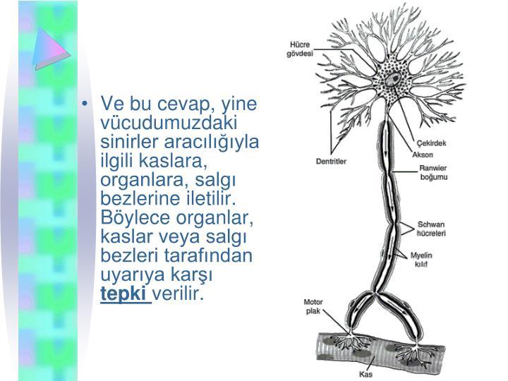 Ve bu cevap, yine vcudumuzdaki sinirler araclyla ilgili kaslara, organlara, salg bezlerine iletilir. Bylece organlar, kaslar veya salg bezleri tarafndan uyarya kar