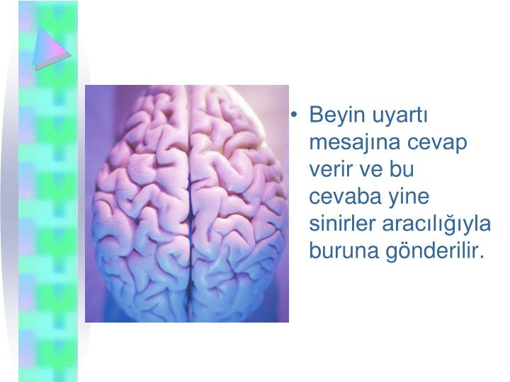 Beyin uyart mesajna cevap verir ve bu cevaba yine sinirler araclyla buruna gnderilir.