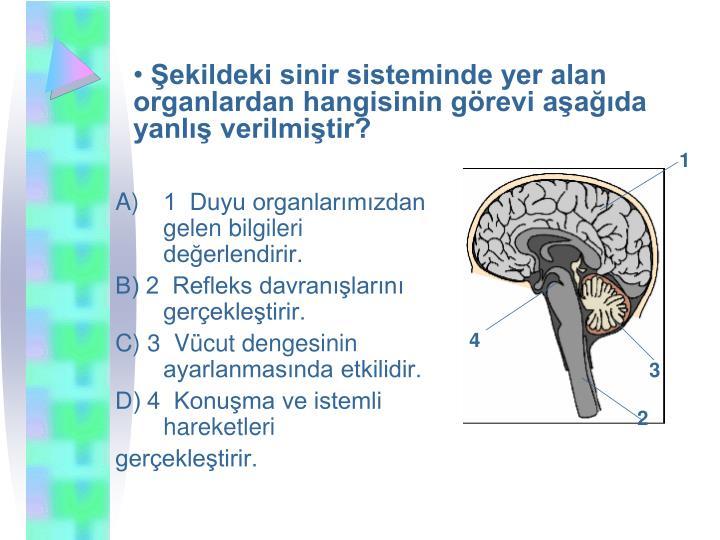 ekildeki sinir sisteminde yer alan organlardan hangisinin grevi aada  yanl verilmitir?