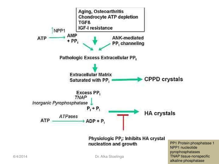 PP1 Protein phosphatase 1