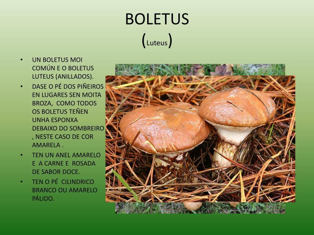 BOLETUS