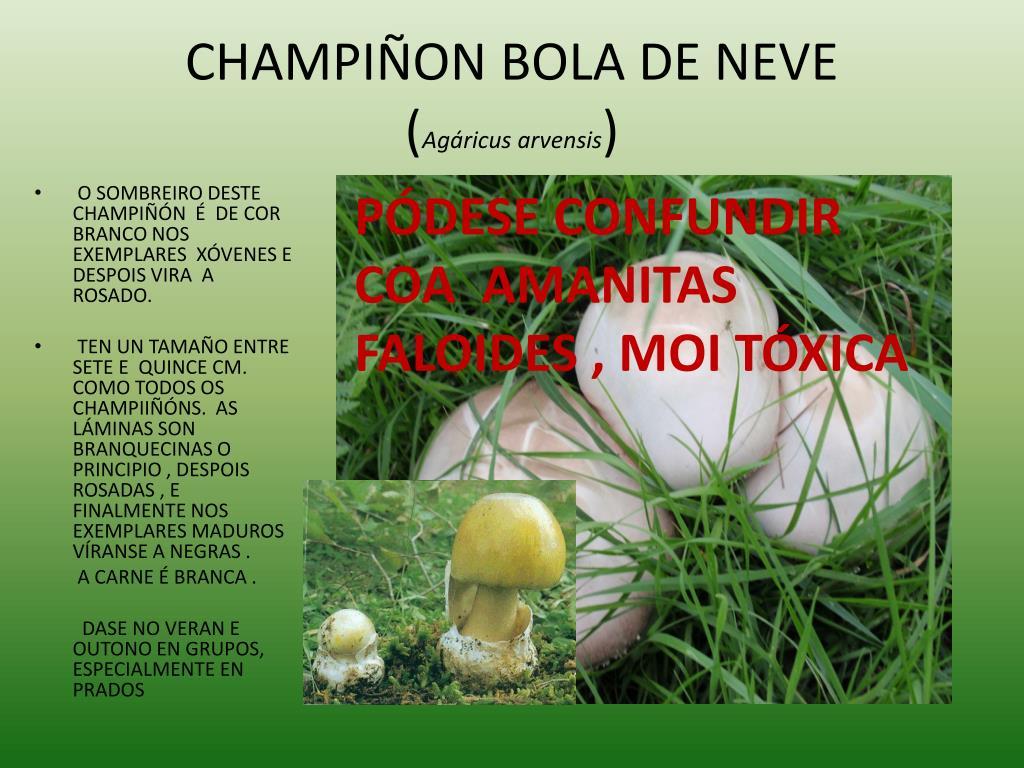 CHAMPIÑON BOLA DE NEVE