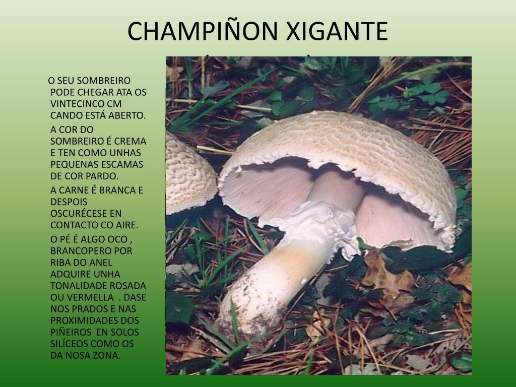 CHAMPIÑON XIGANTE