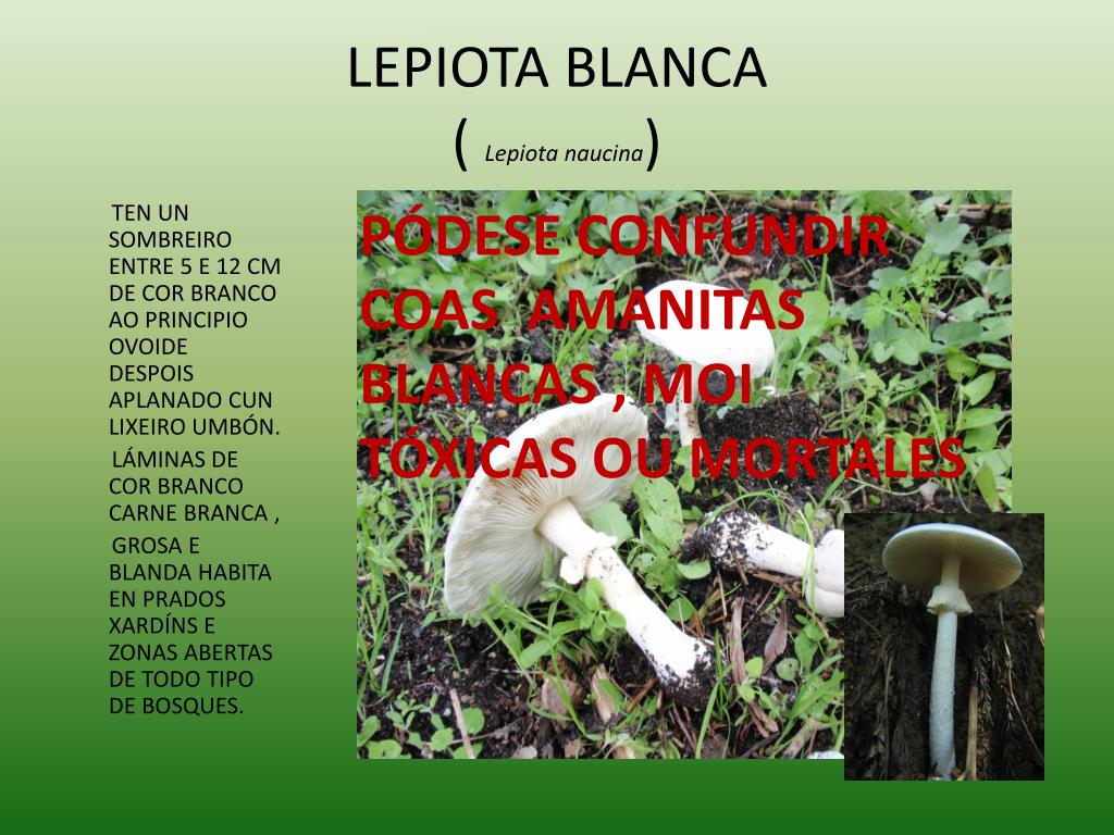 LEPIOTA BLANCA