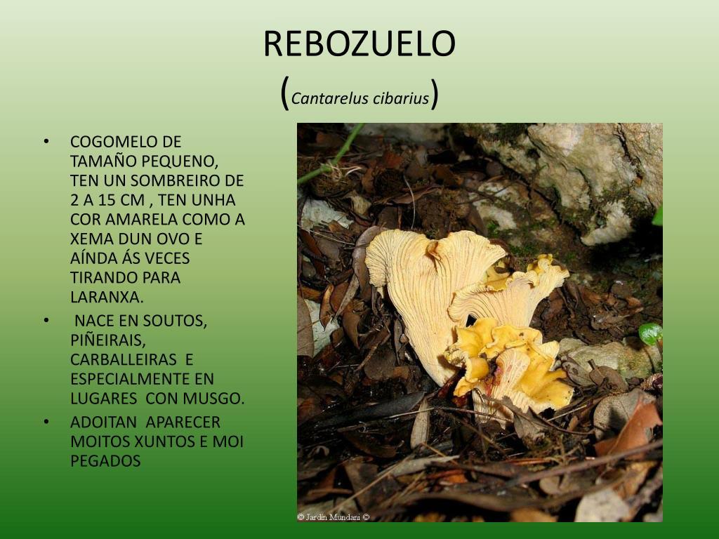 REBOZUELO