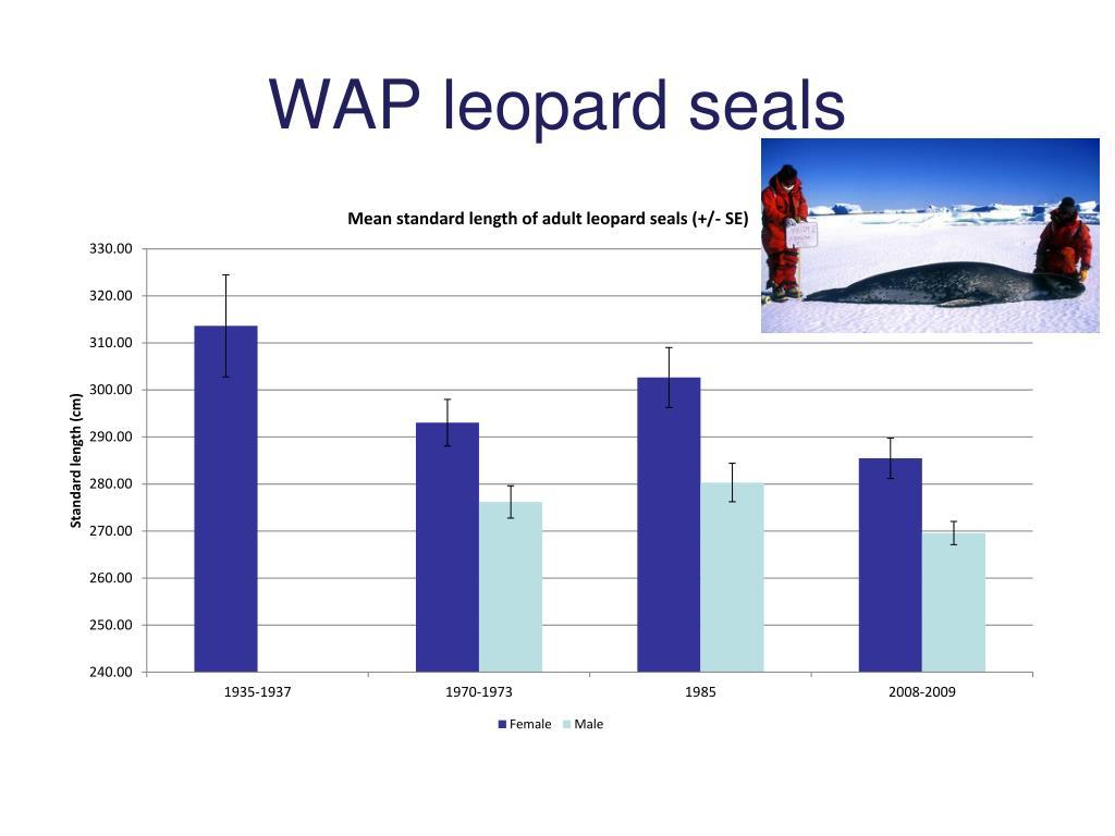 WAP leopard seals