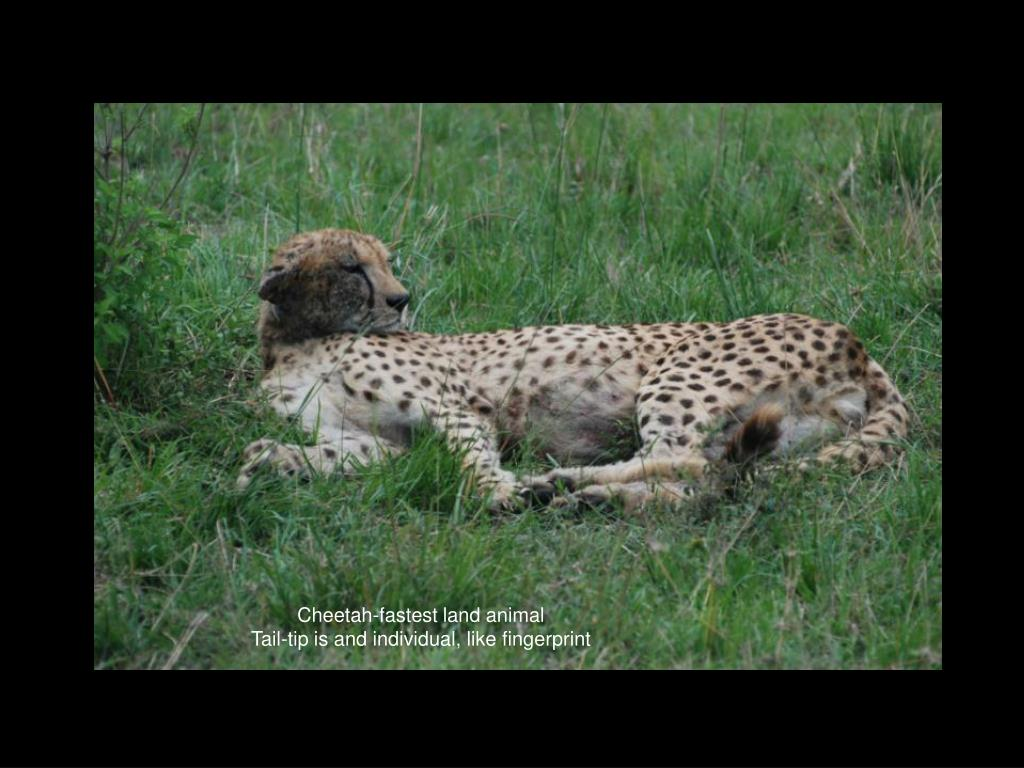 Cheetah-fastest land animal
