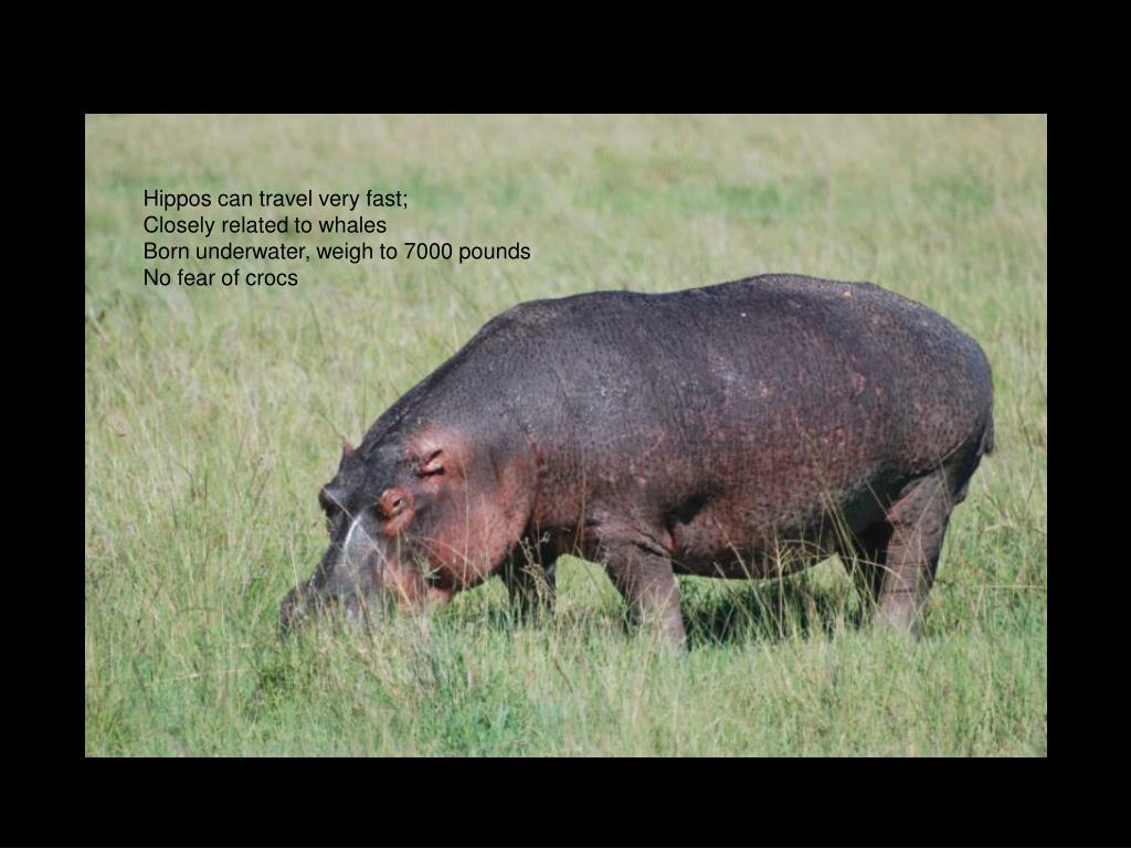 Hippos can travel very fast;