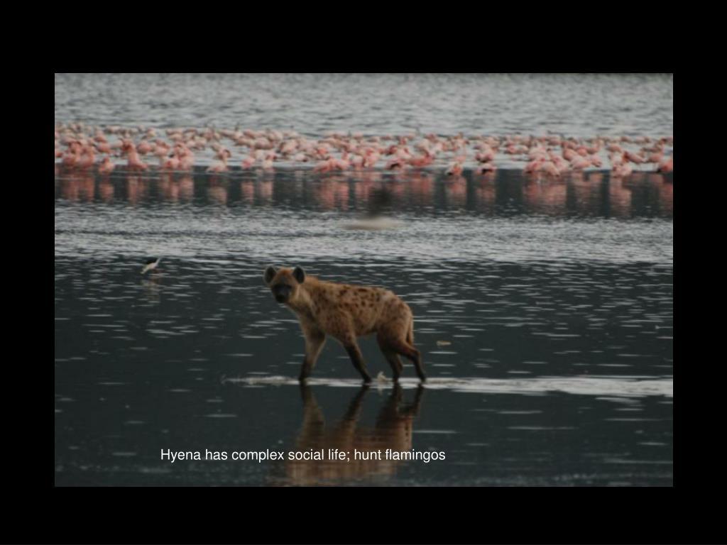 Hyena has complex social life; hunt flamingos