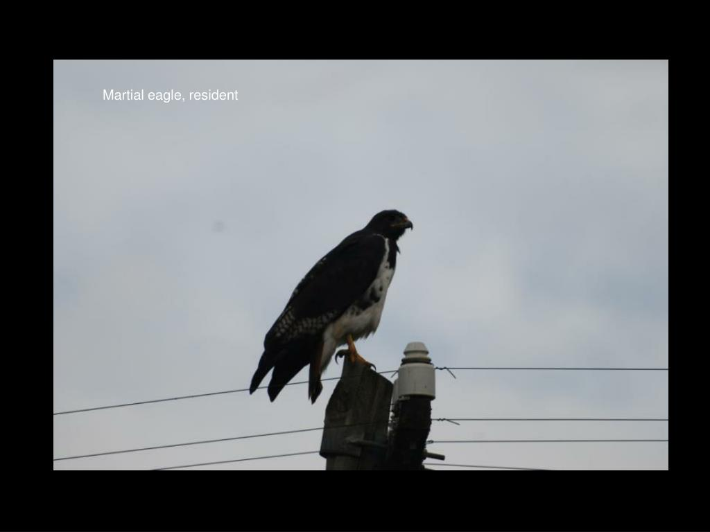 Martial eagle, resident