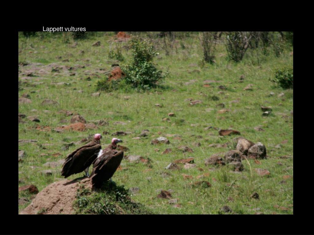 Lappett vultures