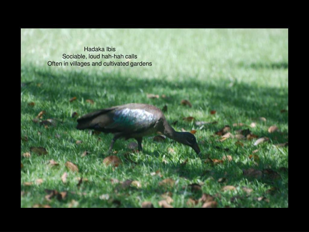Hadaka Ibis