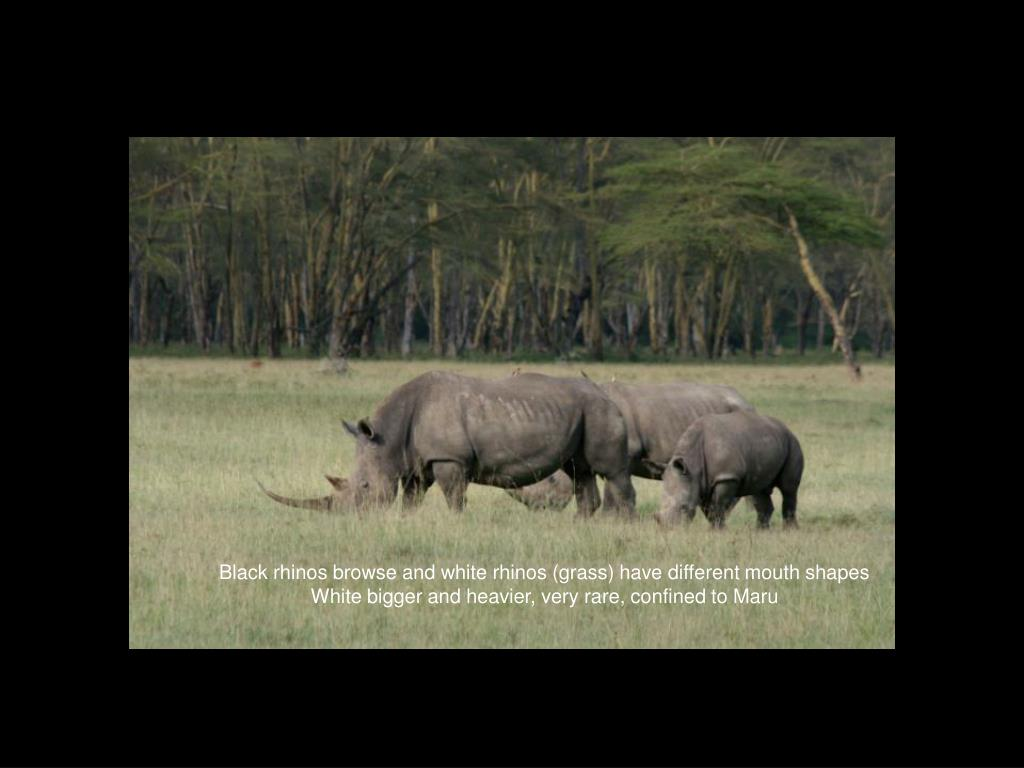 Black rhinos browse and white rhinos (grass) have different mouth shapes