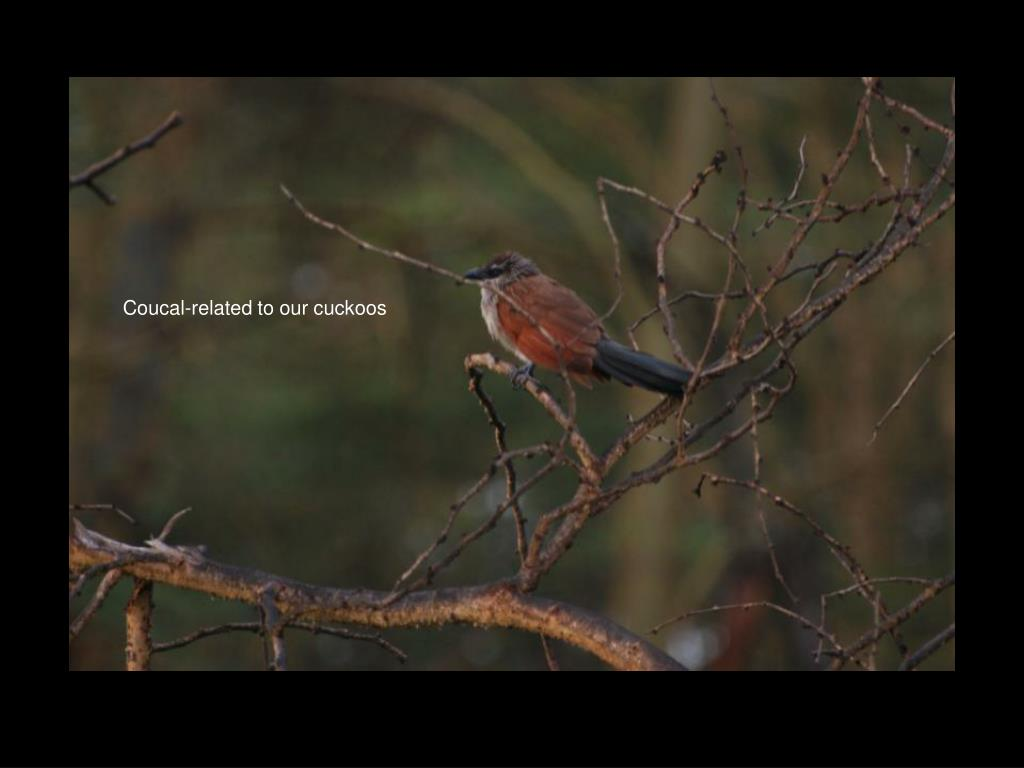 Coucal-related to our cuckoos