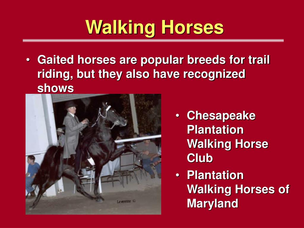 Gaited horses are popular breeds for trail riding, but they also have recognized shows