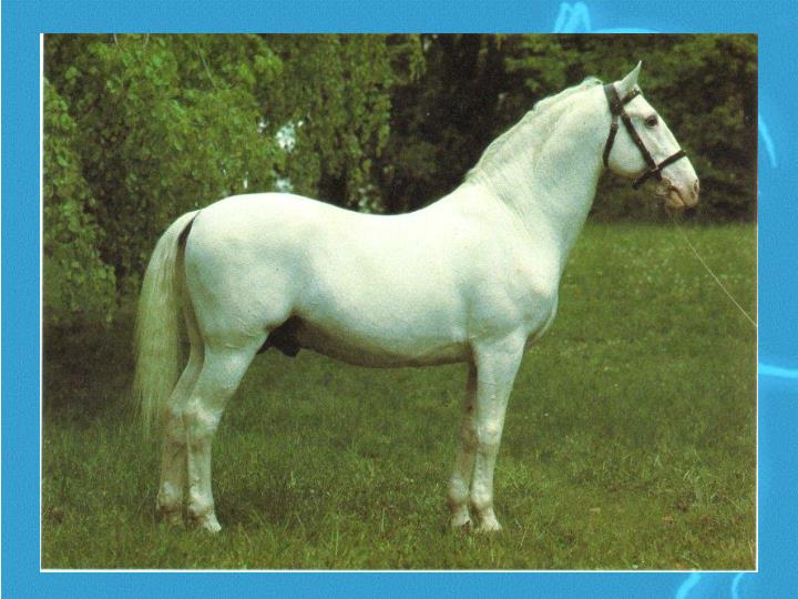 General info about lipizzans l.jpg