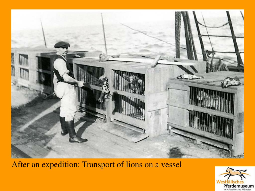 After an expedition: Transport of lions on a vessel