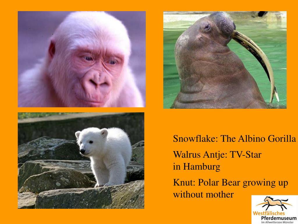 Snowflake: The Albino Gorilla