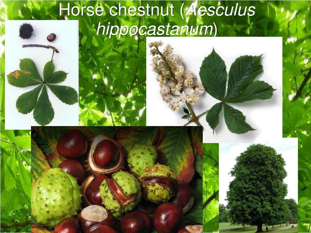 Horse chestnut (