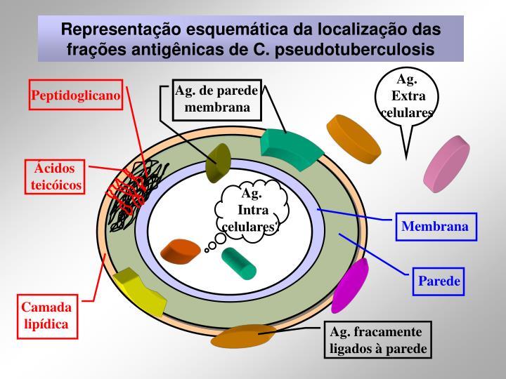 Representação esquemática da localização das frações antigênicas de C. pseudotuberculosis