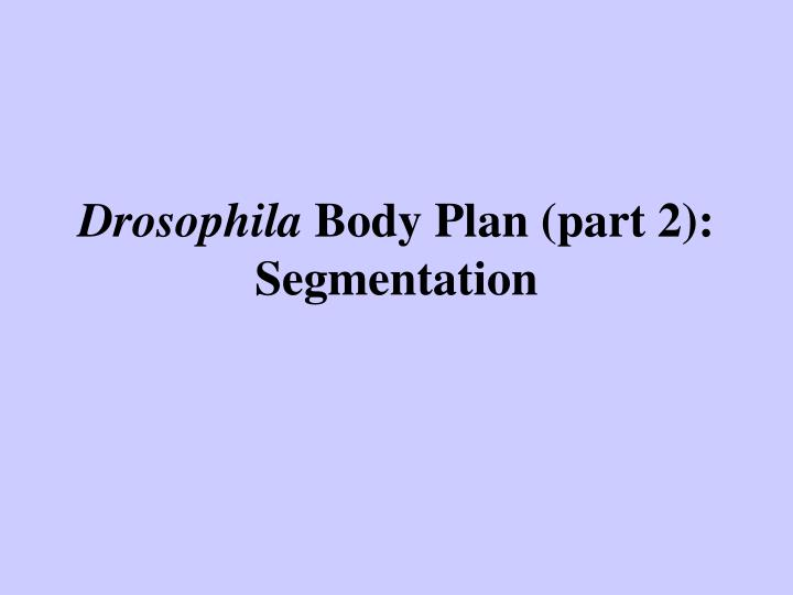 Drosophila body plan part 2 segmentation l.jpg