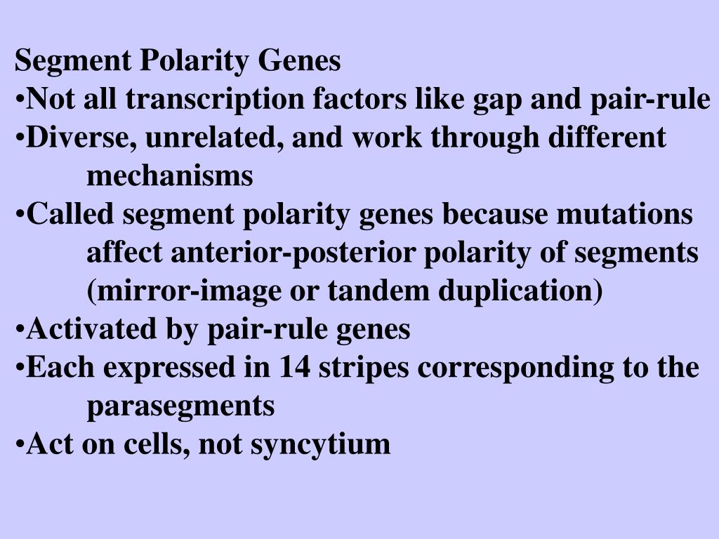 Segment Polarity Genes