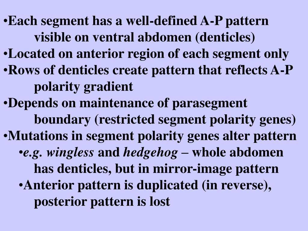 Each segment has a well-defined A-P pattern visible on ventral abdomen (denticles)
