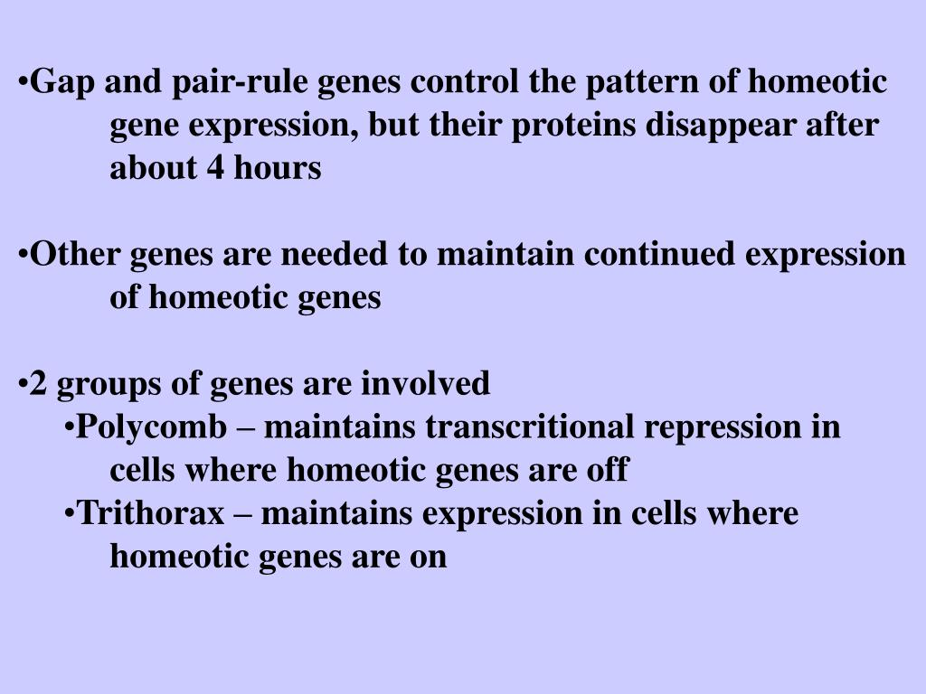 Gap and pair-rule genes control the pattern of homeotic gene expression, but their proteins disappear after about 4 hours