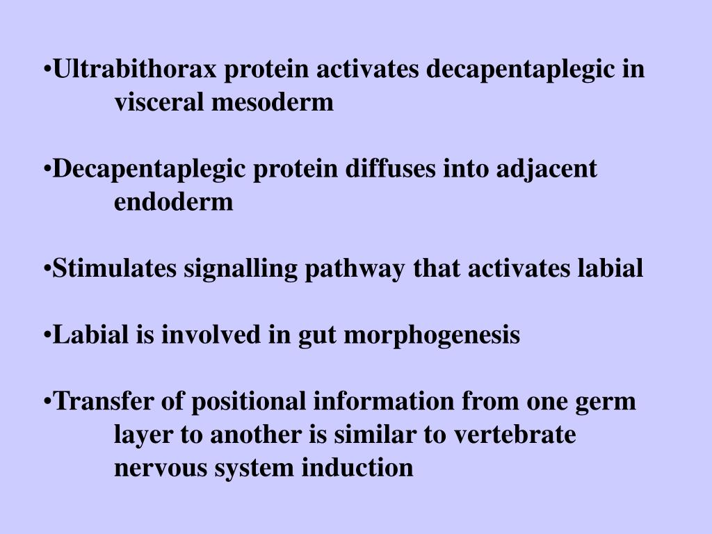 Ultrabithorax protein activates decapentaplegic in visceral mesoderm