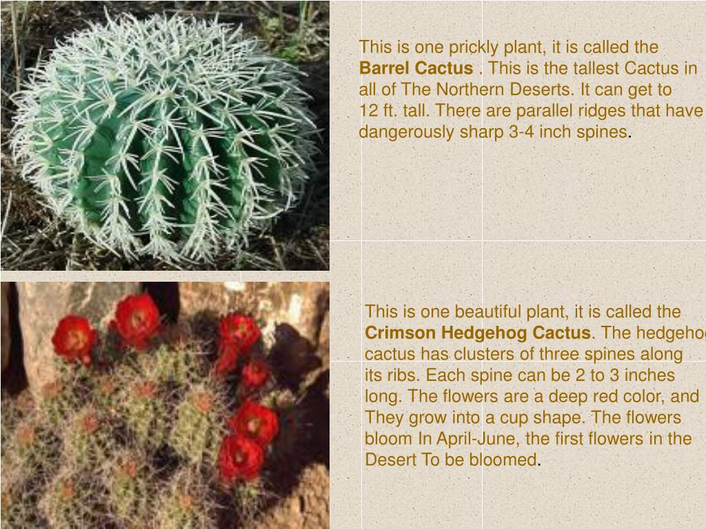 This is one prickly plant, it is called the