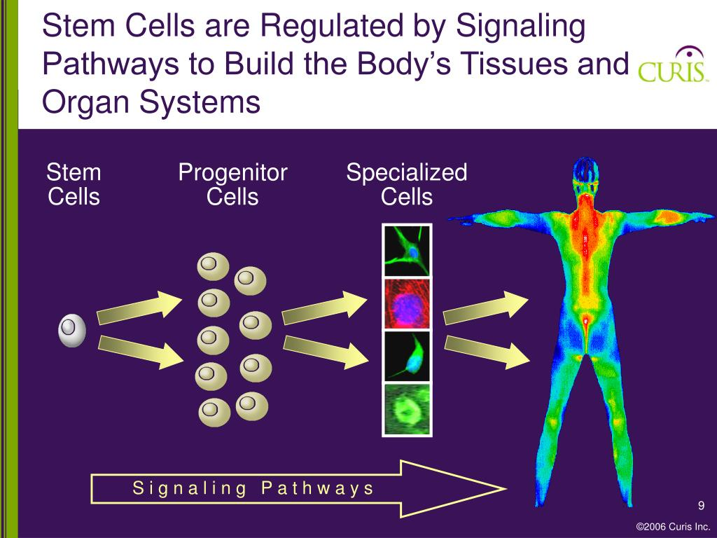 Stem Cells are Regulated by Signaling Pathways to Build the Body's Tissues and Organ Systems